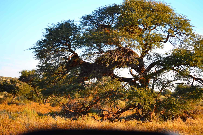 Sociable Weaver Tree