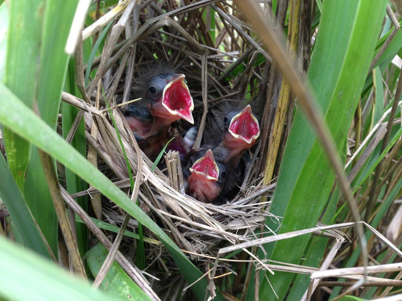 7 SESP Nestlings