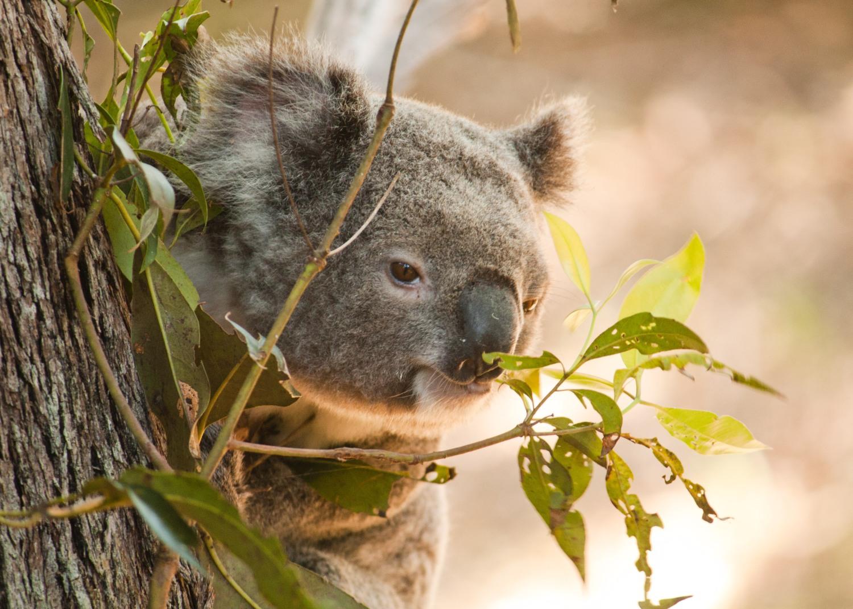 Koala Daniela Parra.jpg