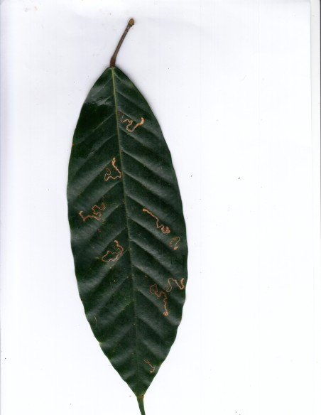 "Scan of a Dipterocarpus sp. leaf. Dipterocarp or ""garjan"" species are giant, iconic, evergreen canopy species. Notice leaf miner trails! Photo by Krishna Anujan."