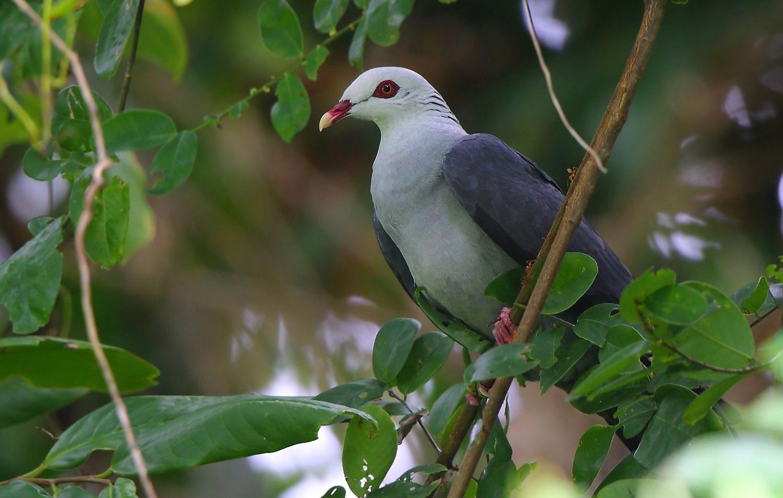 Andaman_Wood_Pigeon.jpg