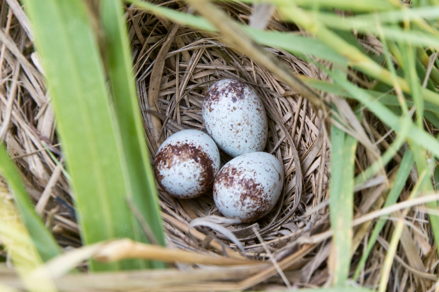 A seaside sparrow nest near Cedar Key